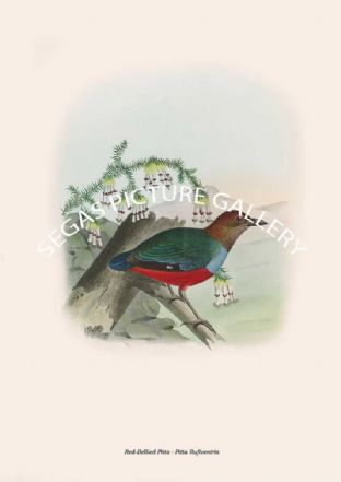 Red-Breasted Pitta - Pitta Rufiventris